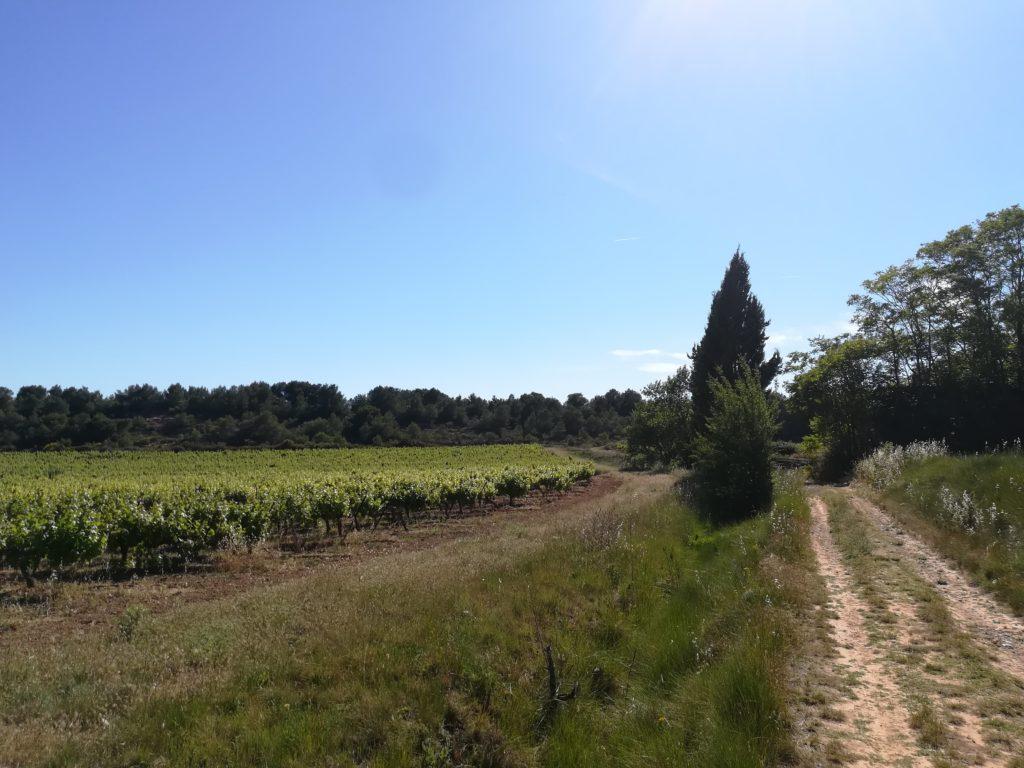 Champ de vignes, randonnée sur la via domitia à Pinet