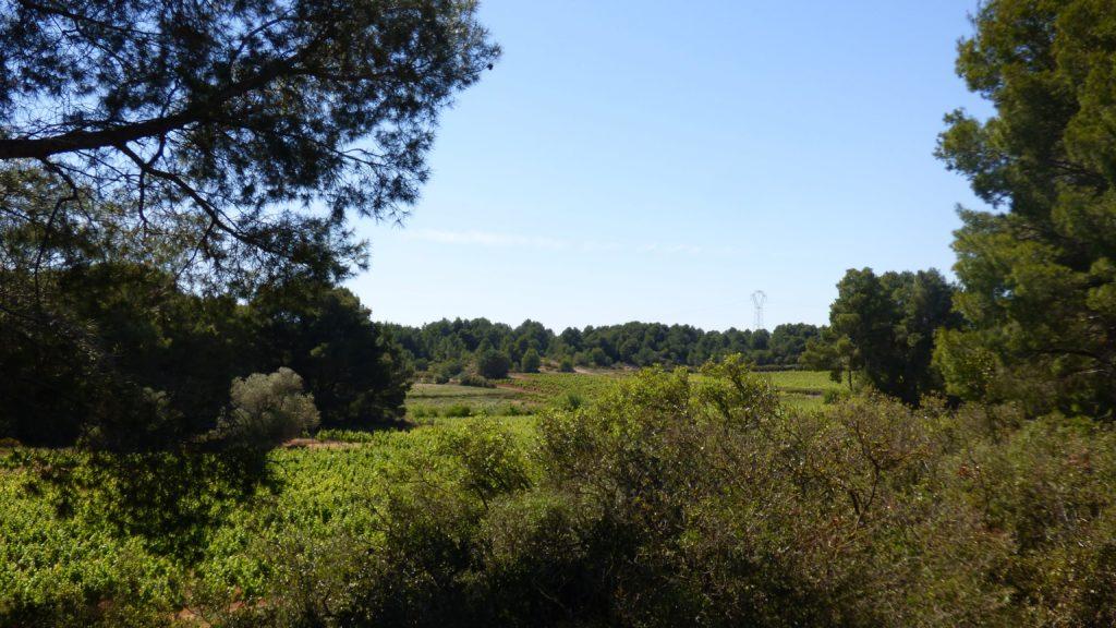 Vigne entre les pins, aux abords de Pinet, sur la Via Domitia