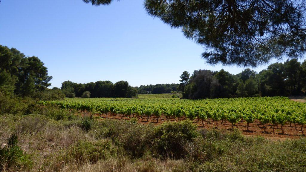 Vue sur les vignes depuis le Circuit de la Via Domitia