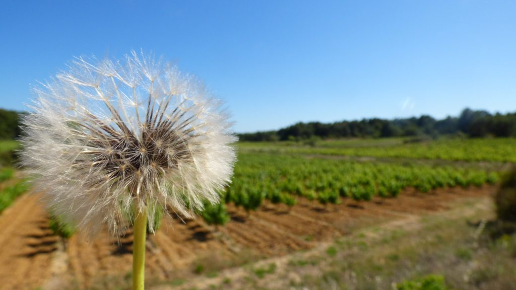 Fleur de pissenlit devant les vignes de Pinet
