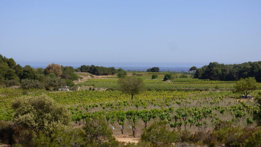 Arbre au milieux des vignes de Pinet, face à la Méditerranée