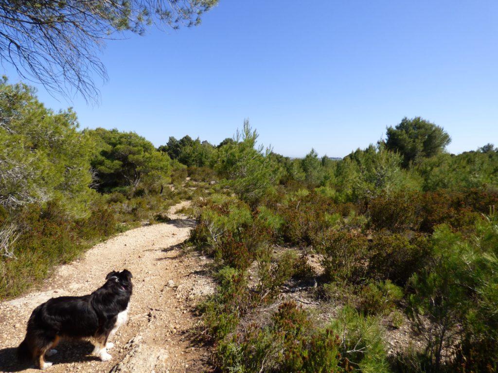 Chien Berger Australien dans la garrigue, sur le circuit de la Via Domitia à Pinet
