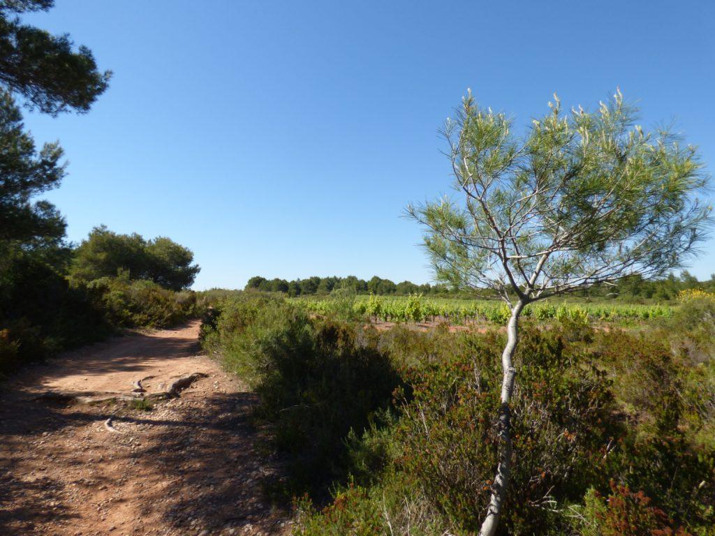 Chemin de terre longeant la garrigue et les vignes sur le circuit de la via domitia