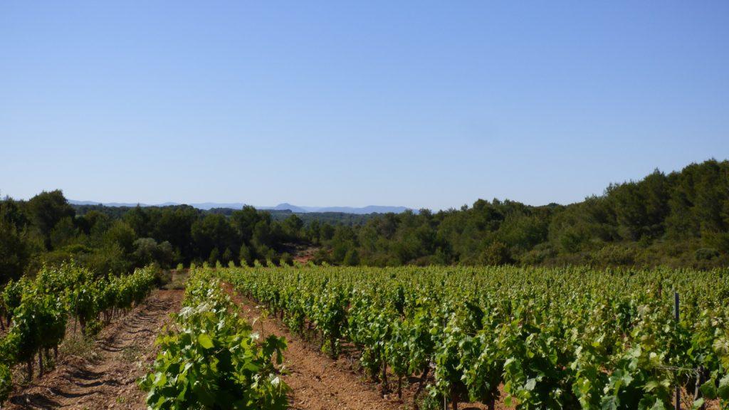 Rangées de vignes sur la randonnée la Via Domitia