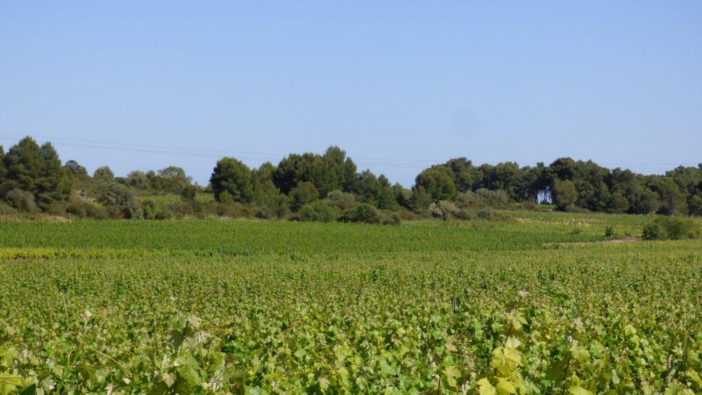 Une mer de vignes à Pinet