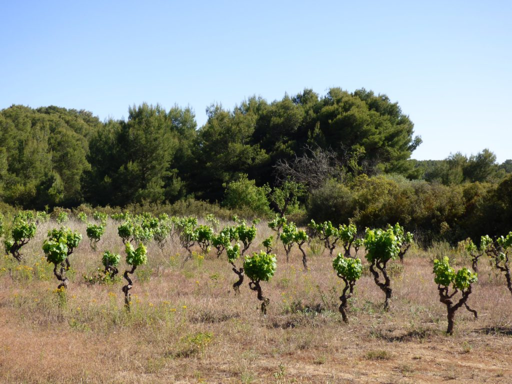 Anciennes vignes à Pinet, sur le circuit de randonnée de la Via Domitia