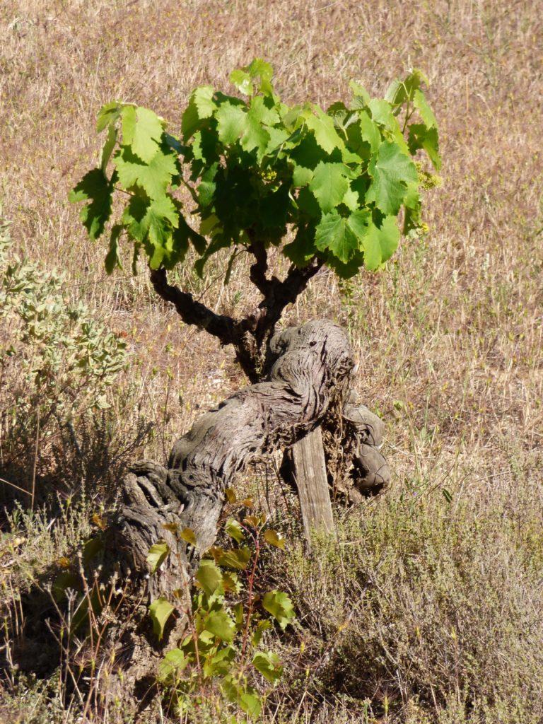 Cep de vigne seul à Pinet