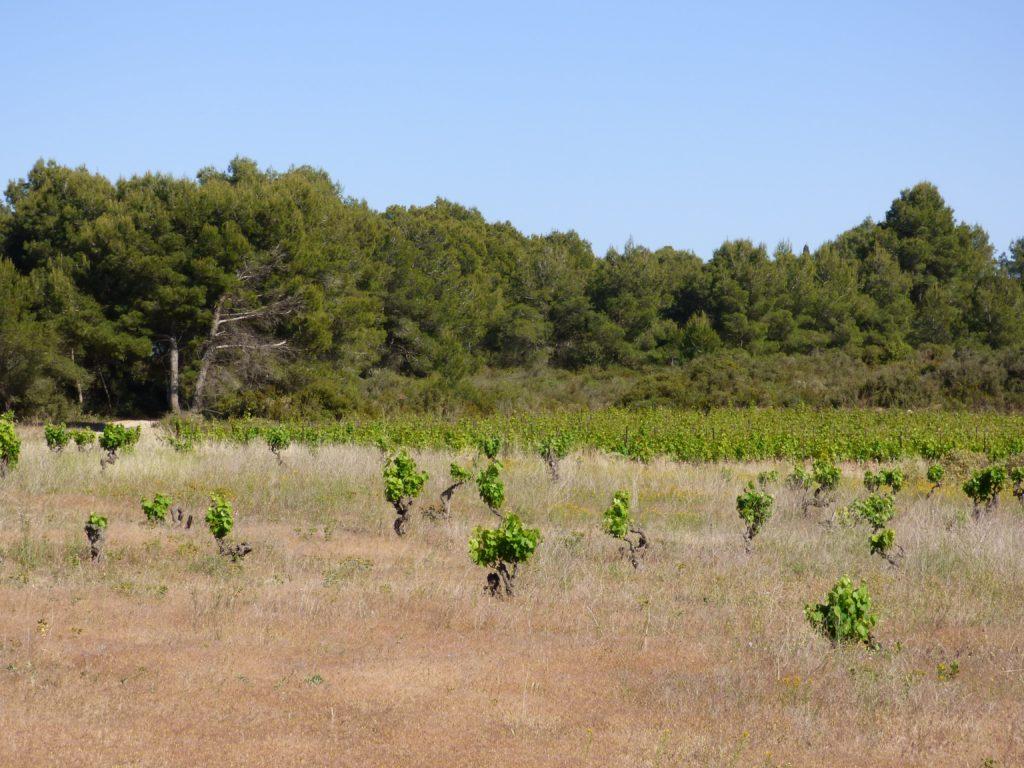 Ancienne vignes face à la garrigue et aux pins à Pinet