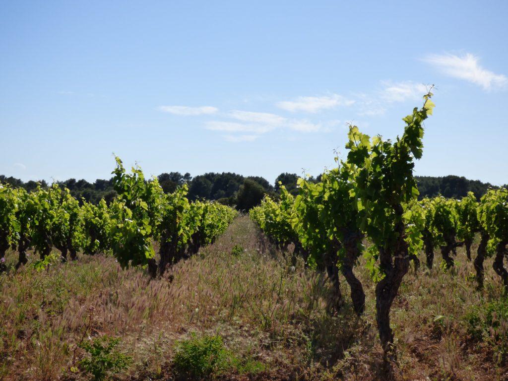 rangées de vignes à Pinet