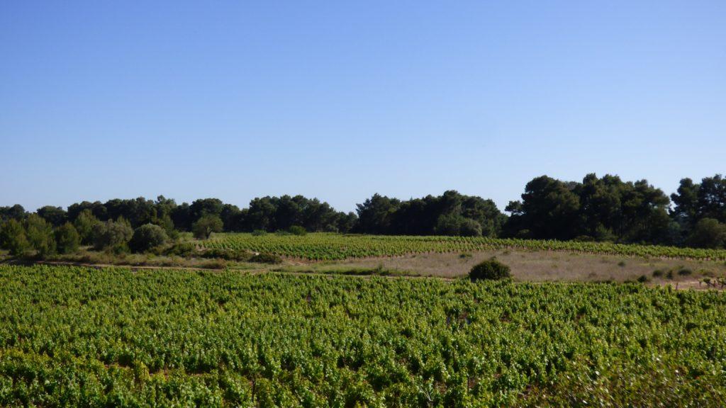 Champ de vigne devant des pins à Pinet