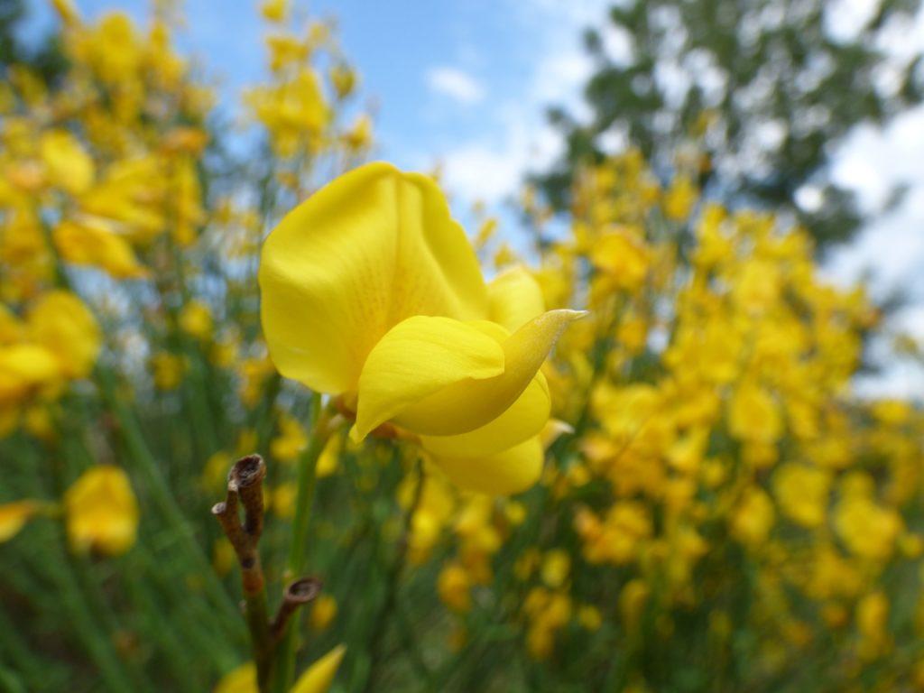 Fleur de genêt